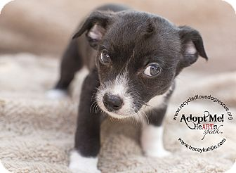 Yorkie, Yorkshire Terrier/Chihuahua Mix Puppy for adoption in Inland Empire, California - KAI