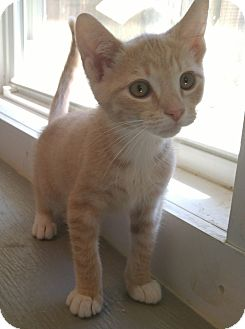 Domestic Shorthair Kitten for adoption in Bryson City, North Carolina - Morris