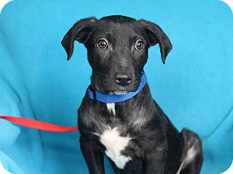Retriever (Unknown Type) Mix Puppy for adoption in Minneapolis, Minnesota - Miles