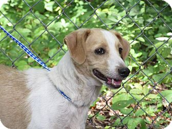 Hound (Unknown Type) Mix Dog for adoption in Danbury, Connecticut - Gus
