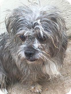 Lhasa Apso Mix Dog for adoption in Phoenix, Arizona - Eve