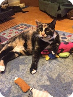 Calico Cat for adoption in Overland Park, Kansas - Tilly
