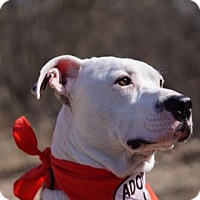 American Pit Bull Terrier Mix Dog for adoption in Dallas, Texas - zzSawyer