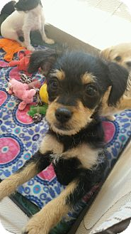 Terrier (Unknown Type, Small) Mix Puppy for adoption in Apache Junction, Arizona - Bitty