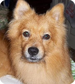 Pomeranian/Terrier (Unknown Type, Medium) Mix Dog for adoption in Anderson, South Carolina - Bear
