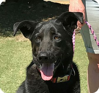 Labrador Retriever/German Shepherd Dog Mix Dog for adoption in Turlock, California - Mandy