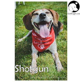 Beagle Dog for adoption in Chicago, Illinois - Shotgun