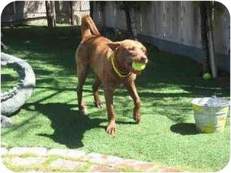Jindo/Retriever (Unknown Type) Mix Dog for adoption in Burbank, California - Big