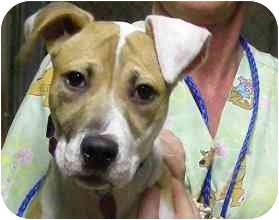 American Pit Bull Terrier Mix Puppy for adoption in Minneapolis, Minnesota - **URGENT**FOSTER HOME GRACIE