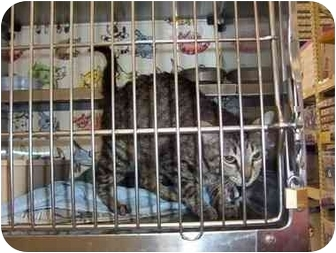 Domestic Shorthair Cat for adoption in San Diego/North County, California - Suzie