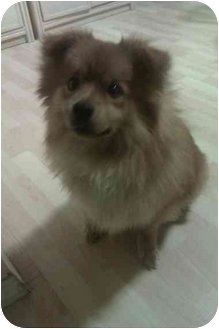 Spitz (Unknown Type, Small) Mix Dog for adoption in Manhasset, New York - Brucee Adoption Pending