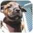 Photo 1 - Boxer/German Shepherd Dog Mix Puppy for adoption in Los Angeles, California - Mable
