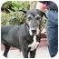 Photo 4 - Great Dane Dog for adoption in Poway, California - Lola