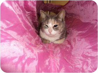 Domestic Shorthair Cat for adoption in North Charleston, South Carolina - Elizabeth