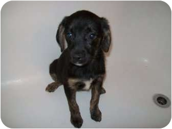 German Shepherd Dog/Labrador Retriever Mix Puppy for adoption in Bel Air, Maryland - Leanna