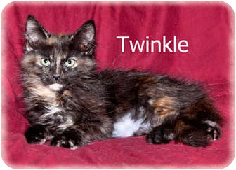 Domestic Longhair Kitten for adoption in Brighton, Michigan - Twinkle