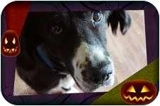 Golden Retriever/Border Collie Mix Dog for adoption in Portland, Maine - Garth