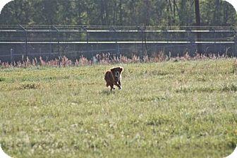 Golden Retriever/Spaniel (Unknown Type) Mix Dog for adoption in Southampton, Pennsylvania - Scarlett Wilder