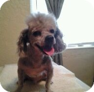 Poodle (Miniature) Dog for adoption in St. Petersburg, Florida - Cody