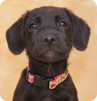 Labrador Retriever Mix Puppy for adoption in Thousand Oaks, California - Abby