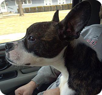 Boston Terrier Mix Dog for adoption in Prole, Iowa - Jasper