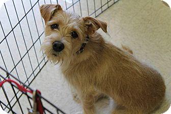 Terrier (Unknown Type, Medium)/Cairn Terrier Mix Puppy for adoption in Phoenix, Arizona - Sadie Belle