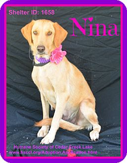 Labrador Retriever Mix Dog for adoption in Plano, Texas - Nina