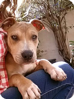 American Pit Bull Terrier Mix Puppy for adoption in Clarksburg, Maryland - Ella