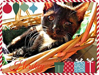 Domestic Shorthair Kitten for adoption in Franklin, Indiana - Hershey