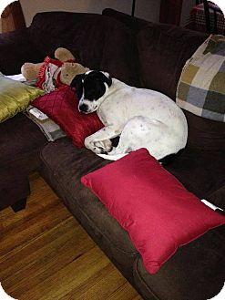 Labrador Retriever Mix Dog for adoption in Astoria, New York - Apollo