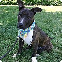 Adopt A Pet :: Dax-$100 ADOPTION GRANT - Auburn, CA
