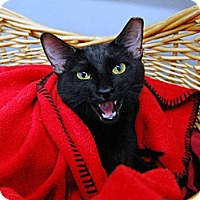 Domestic Shorthair Cat for adoption in St. Louis, Missouri - Latifah