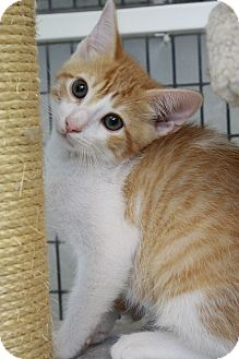 Domestic Shorthair Kitten for adoption in Covington, Louisiana - Jethro