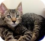 Domestic Shorthair Kitten for adoption in Wheaton, Illinois - Ziggy