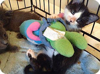 Domestic Shorthair Kitten for adoption in Irvine, California - Jackie