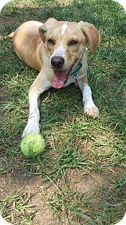 Hound (Unknown Type)/Golden Retriever Mix Puppy for adoption in Nashville, Tennessee - Saint