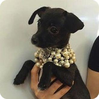 Terrier (Unknown Type, Medium) Mix Puppy for adoption in Studio City, California - Copper