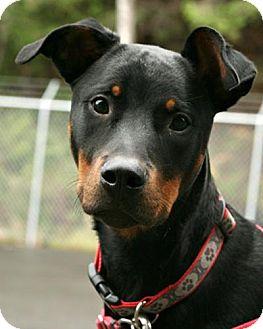Doberman Pinscher/Rottweiler Mix Dog for adoption in Bellingham, Washington - Bane