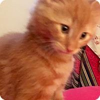Adopt A Pet :: Clover - Southington, CT