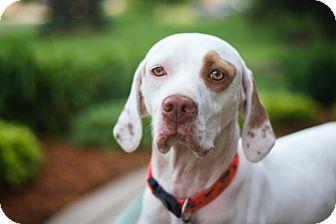 English Pointer/Vizsla Mix Dog for adoption in Wood Dale, Illinois - Champ- ILLINOIS