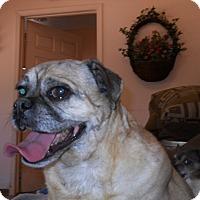 Pug Mix Dog for adoption in dewey, Arizona - Billy