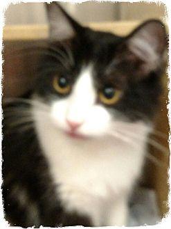 Domestic Longhair Cat for adoption in Pueblo West, Colorado - Zatarra