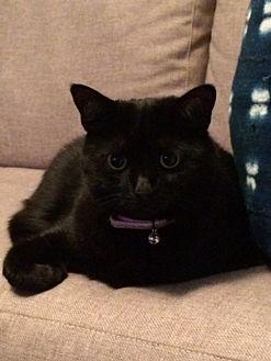 Bombay Cat for adoption in Orange, California - Cali