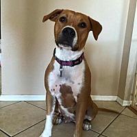 Boxer/Shepherd (Unknown Type) Mix Dog for adoption in Peoria, Arizona - Paisley