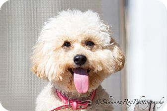 Poodle (Miniature) Mix Dog for adoption in Vacaville, California - Pom Pom