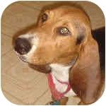 Basset Hound Dog for adoption in Phoenix, Arizona - Teddy II