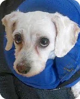 Poodle (Miniature)/Bichon Frise Mix Dog for adoption in Boulder, Colorado - Sebastian-Adoption Pending