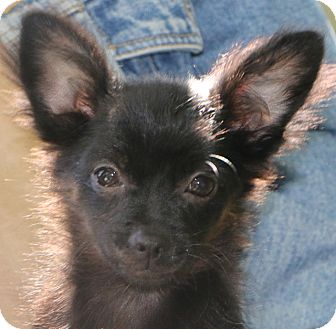 Chihuahua Mix Dog for adoption in Norwalk, Connecticut - Jack Frost - only 4 lbs.!!