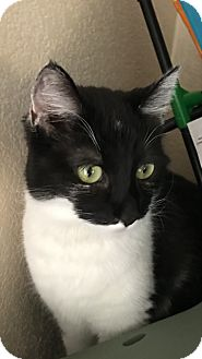 Domestic Shorthair Cat for adoption in Las Vegas, Nevada - Kokie