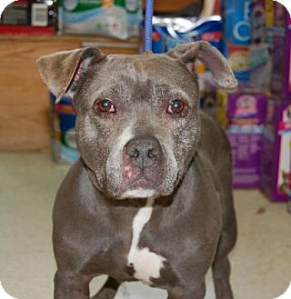 Pit Bull Terrier Mix Dog for adoption in Brooklyn, New York - Cyclone